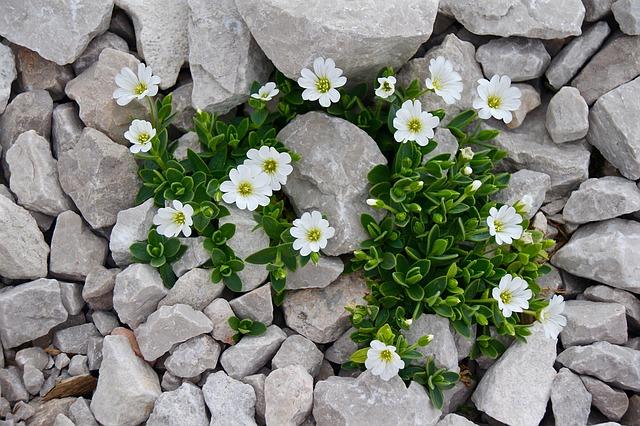 image of chickweed growing between light grey rocks