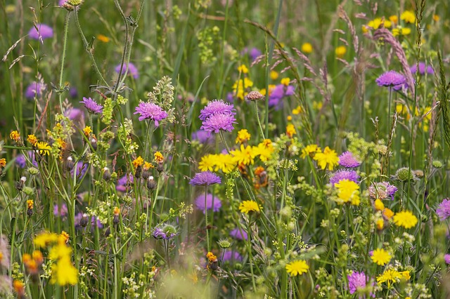 dandelions in long grass next to pink flowers