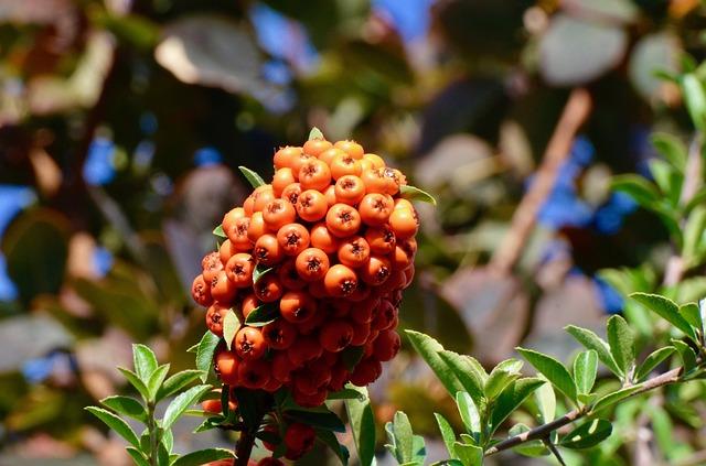 close up image of orange hawthorn berries