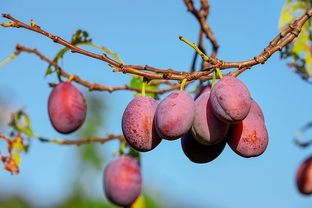 image of plums on a branch