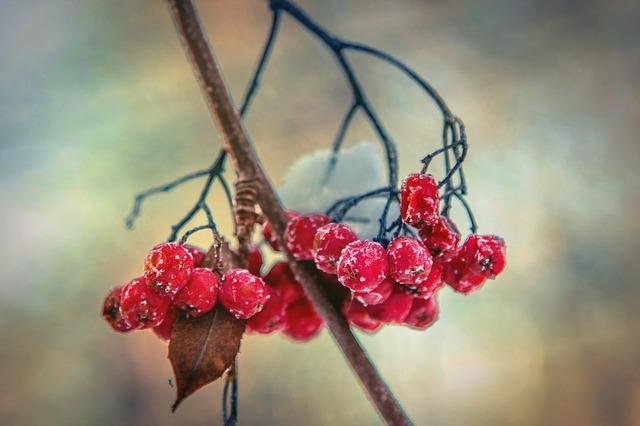 close up of Rowan berries