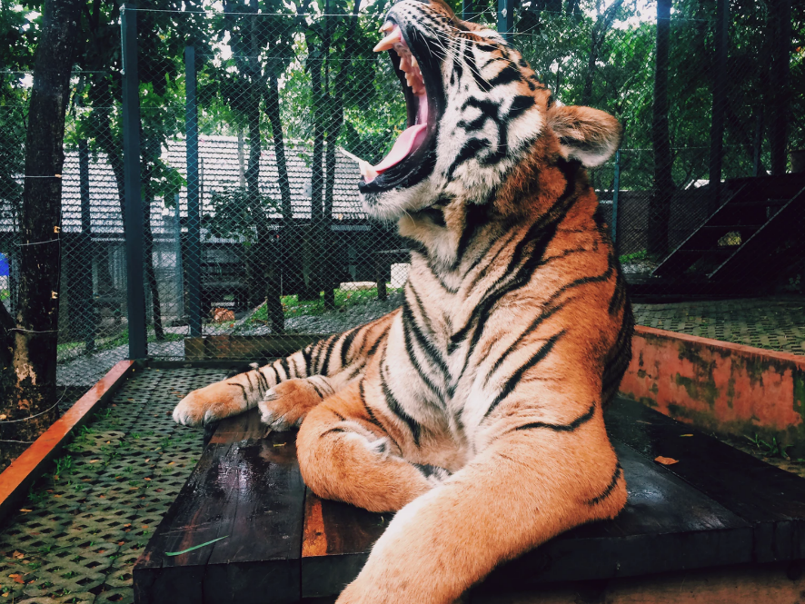 caged tiger roaring