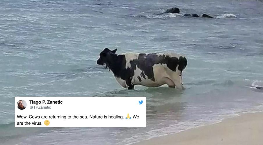 Nature is healing meme of a cow in the sea